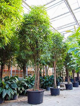 Ficus alii 550 cm