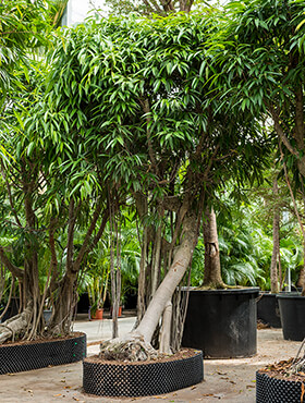 Ficus alii bonsai D210xH400 cm