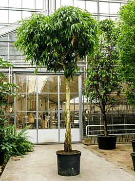 Ficus alii D280xH525 cm
