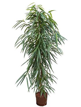 Ficus alii D50xH150 cm