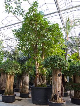 Ficus altissima 750 cm Arborele de consiliu