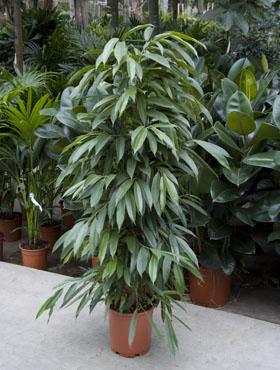 Ficus Amstel King 150 cm 88735