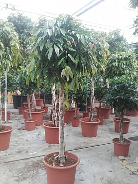 Ficus Amstel King 250 cm