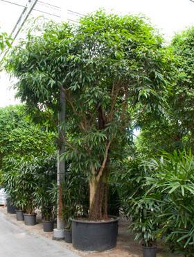 Ficus Amstel King 600 cm