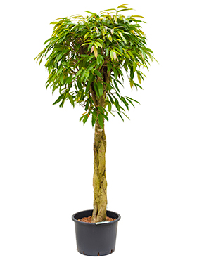Ficus amstel king D100xH190 cm