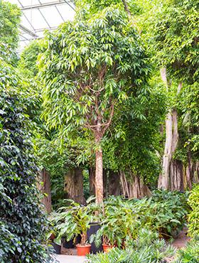 Ficus Amstel King D300xH550 cm