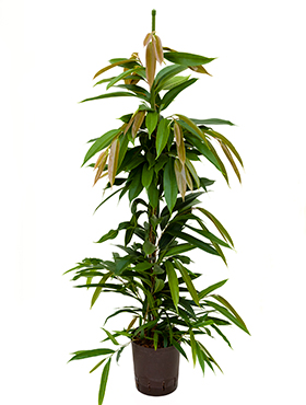 Ficus amstel king D40xH100 cm