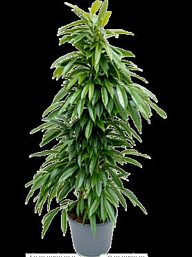 Ficus amstel king D65xH150 cm