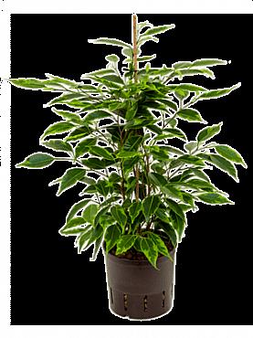 Ficus anastacia D15xH45 cm