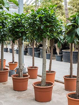 Ficus australis 240 cm
