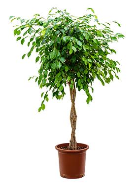 Ficus benjamina 140 cm Fig plangator - Figul lui Benjamin - Arborele de Ficus