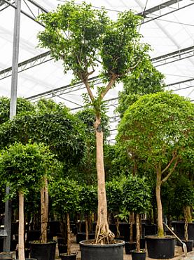 Ficus benjamina D400xH800 cm Fig plangator - Figul lui Benjamin - Arborele de Ficus