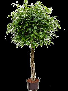 Ficus benjamina D65xH150 cm Fig plangator - Figul lui Benjamin - Arborele de Ficus