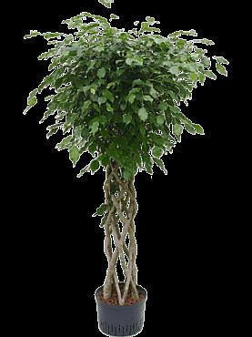 Ficus benjamina D70xH175 cm