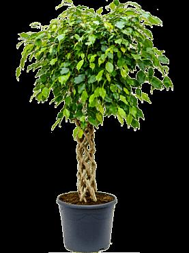 Ficus benjamina D80xH130 cm Fig plangator - Figul lui Benjamin - Arborele de Ficus