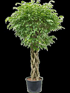 Ficus benjamina D90xH190 cm Fig plangator - Figul lui Benjamin - Arborele de Ficus