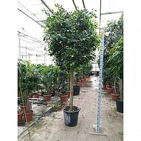 Ficus benjamina Nikita 320 cm