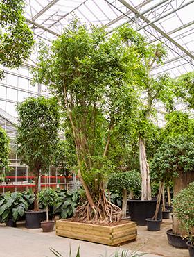 Ficus cocinna 750 cm