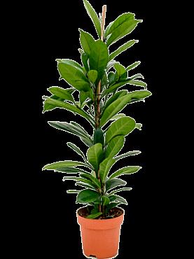 Ficus cyathistipula D40xH95 cm Smochinul african