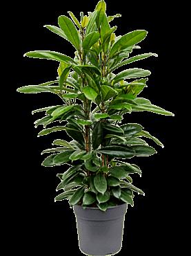 Ficus cyathistipula D50xH110 cm Smochinul african