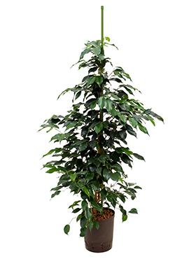 Ficus danielle D40xH110 cm Fig plangator - Arborele de ficus