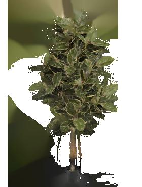 Ficus Elastica variegata 210 cm