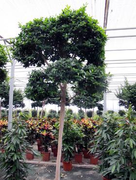 Ficus fibrosa 330 cm Cortina fig - Gajumaru - Banyan chinezesc