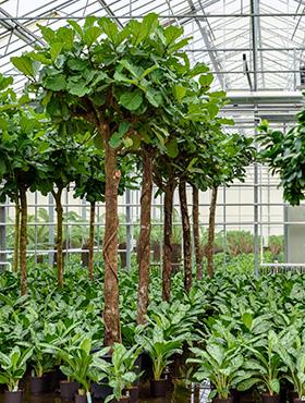 Ficus lyrata 460 cm Smochin fals - Fig vioara-frunze -Banyan - Smochinul lira