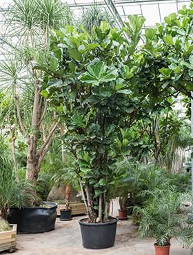 Ficus lyrata 500 cm Smochin - Fig vioara-frunze -Banyan