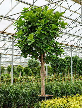 Ficus lyrata 550 cm Smochin fals - Fig vioara-frunze -Banyan - Smochinul lira