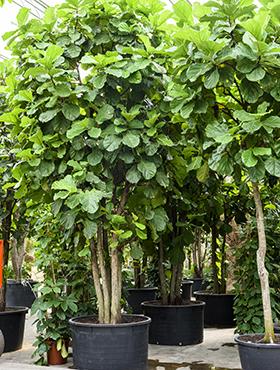 Ficus lyrata 550 cm Smochin - Fig vioara-frunze -Banyan