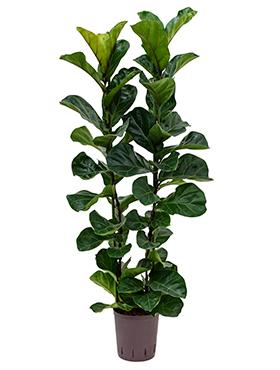 Ficus lyrata bambino D40xH115 cm Smochin - Fig vioara-frunze -Banyan