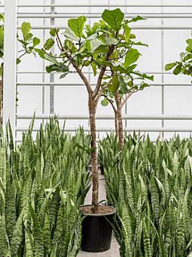 Ficus lyrata D120xH250 cm Smochin - Fig vioara-frunze -Banyan