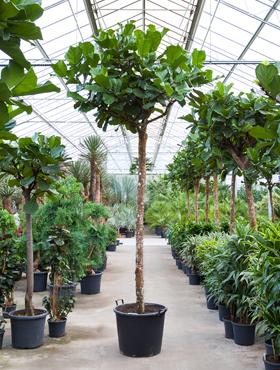 Ficus lyrata D280xH400 cm Smochin - Fig vioara-frunze -Banyan