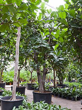 Ficus lyrata D380xH575 cm Smochin - Fig vioara-frunze -Banyan