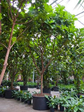Ficus lyrata D440xH600 cm Smochin - Fig vioara-frunze -Banyan