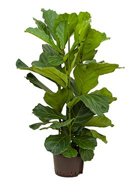 Ficus lyrata D65xH110 cm Smochin - Fig vioara-frunze -Banyan