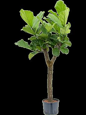 Ficus lyrata D70xH150 cm Smochin - Fig vioara-frunze -Banyan