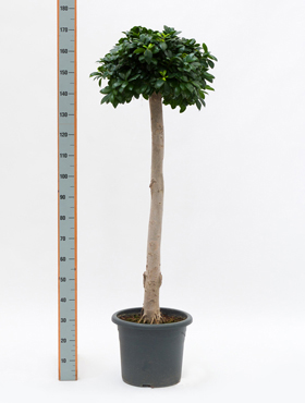 Ficus microcarpa compacta 185 cm Banyan chinezesc- Cortina fig - Laurel indian