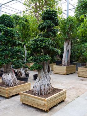 Ficus microcarpa compacta 350 cm Banyan chinezesc - Laurel indian - Bonsai