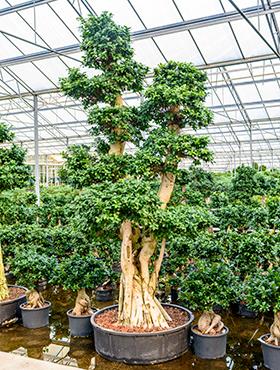 Ficus microcarpa compacta 400 cm Bonsai - Banyan chinezesc