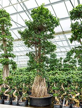 Ficus microcarpa compacta D100xH360 cm