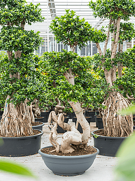 Ficus microcarpa compacta D110xH210 cm Bonsai - Banyan chinezesc
