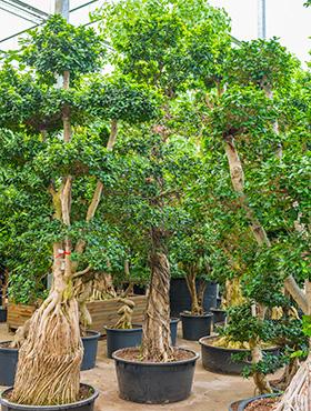 Ficus microcarpa compacta D220xH425 cm Banyan chinezesc- Cortina fig - Laurel indian