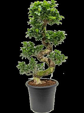 Ficus microcarpa compacta D40xH100 cm Bonsai - Banyan chinezesc