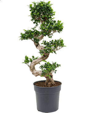 Ficus microcarpa compacta D45xH100 cm Banyan chinezesc- Bonsai- Laurel indian