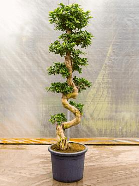 Ficus microcarpa compacta D55xH200 cm Bonsai - Banyan chinezesc