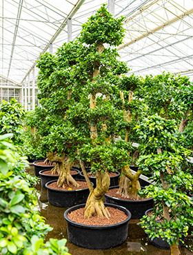Ficus microcarpa compacta W110xH300 cm