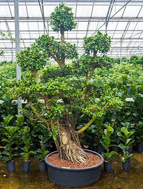 Ficus microcarpa compacta W130xH250 cm