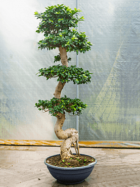 Ficus microcarpa D90xH200 cm Banyan chinezesc- Bonsai- Laurel indian